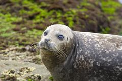 Gewone Zeehond, Harbor Seal, Phoca vitulina richardsi royalty free stock photo