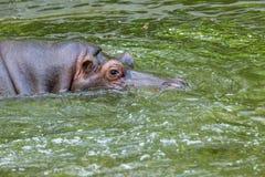 Gewoon nijlpaard in het water van de pool van het dierentuinvogelhuis Het Afrikaanse herbivore aquatische zoogdierennijlpaard bes royalty-vrije stock foto