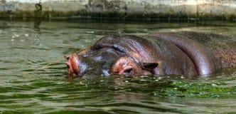 Gewoon nijlpaard in het water van de pool van het dierentuinvogelhuis Het Afrikaanse herbivore aquatische zoogdierennijlpaard bes royalty-vrije stock foto's