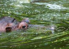 Gewoon nijlpaard in het water van de pool van het dierentuinvogelhuis Het Afrikaanse herbivore aquatische zoogdierennijlpaard bes royalty-vrije stock afbeeldingen