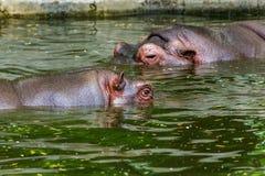 Gewoon nijlpaard in het water van de pool van het dierentuinvogelhuis Het Afrikaanse herbivore aquatische zoogdierennijlpaard bes stock foto