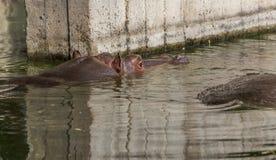 Gewoon nijlpaard in het water van de pool van het dierentuinvogelhuis Het Afrikaanse herbivore aquatische zoogdierennijlpaard bes stock fotografie