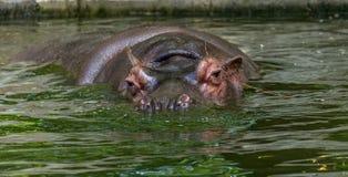 Gewoon nijlpaard in het water van de pool van het dierentuinvogelhuis Het Afrikaanse herbivore aquatische zoogdierennijlpaard bes stock foto's