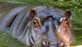 Gewoon nijlpaard in het water van de pool van het dierentuinvogelhuis Het Afrikaanse herbivore aquatische zoogdierennijlpaard bes royalty-vrije stock afbeelding