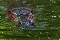 Gewoon nijlpaard in het water van de pool van het dierentuinvogelhuis Het Afrikaanse herbivore aquatische zoogdierennijlpaard bes stock afbeelding
