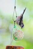 Gewordener Vogel long-tailed Tit, der auf einer Kugel des Fettes speist Lizenzfreies Stockfoto