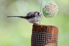 Gewordener Vogel long-tailed Tit, der auf einer Kugel des Fettes speist Lizenzfreie Stockfotografie