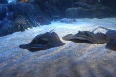 Gewrongen-vissen bij de bodem van water stock afbeelding