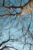 Gewundene Niederlassungen der Bäume gegen den blauen Himmel, Ansicht von unten Lizenzfreie Stockfotos