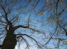 Gewundene Niederlassungen der Bäume gegen den blauen Himmel, Ansicht von unten Lizenzfreies Stockbild