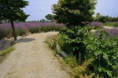 Gewundenes countryroad im purpurroten blühenden Ackerland Lizenzfreies Stockfoto