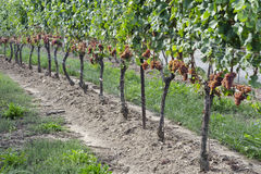 Gewurtztraminer Biały Wina Winogrona na Winogradzie -2 Obraz Royalty Free