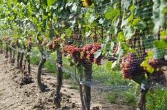 Gewurtztraminer Biały Wina Winogrona na Winogradzie -3 Zdjęcie Stock