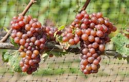 Gewurtztraminer Biały Wina Winogrona na Winogradzie -4 Obraz Royalty Free