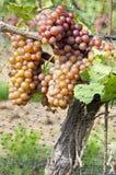 Gewurtztraminer Biały Wina Winogrona na Winogradzie -5 Zdjęcia Stock