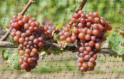 Gewurtztraminer White Wine Grapes on the Vine #4 Royalty Free Stock Image