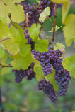 Gewurztraminer grape bunches, Alsace, vendange time, France Stock Image