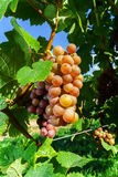 Gewurztraminer grape bunches on the sun Royalty Free Stock Image