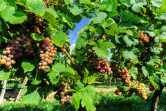 Gewurztraminer grape bunches on the sun Royalty Free Stock Photo