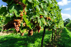 Gewurztraminer grape bunches on the sun Royalty Free Stock Images