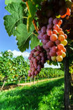 Gewurztraminer grape bunches on the sun Stock Photography