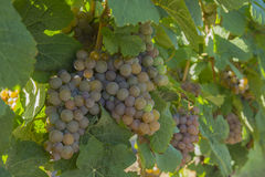 Gewurztraminer Grapes in Vineyard Okanagan Kelowna British Columbia Canada. Ripened Gewurztraminer Grapes in Vineyard Okanagan British Columbia Canada near Stock Image