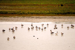 Geylag gooses. Colony of Greylag gooses Anser anser during wintering Italy, Isola della Cona Royalty Free Stock Photos