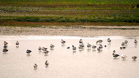 Geylag gooses. Colony of Greylag gooses Anser anser during wintering Italy, Isola della Cona Stock Photo