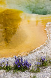 Geyser in Yellowstone with flowers Royalty Free Stock Image