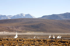 Geysers del tatio. On Andes, Chile Royalty Free Stock Images
