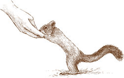 Gezähmtes Eichhörnchen Stockfotos