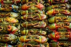 Gezackte Mangrovenkrabbe, Mangrovenkrabbe, schwarze Krabbe, riesige Mangrovenkrabbe, Sc Lizenzfreies Stockfoto