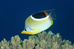 Gezadelde Butterflyfish, Chaetodon-ephippium Stock Foto