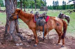 Gezadelde paarden in Mongolië Stock Foto
