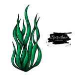 Gezeichnete Vektorillustration des Spirulina-Meerespflanzenpulvers Hand Lokalisierte Spirulina-Algen auf weißem Hintergrund Stockbild