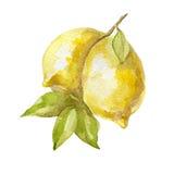 Gezeichnete Zitronenfrucht des Aquarells Hand auf weißem Hintergrund Stockbild