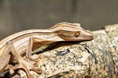 Gezeichneter Blatt-angebundener Gecko lizenzfreie stockbilder