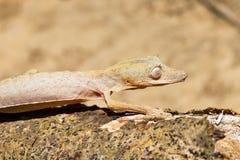 Gezeichneter Blatt-angebundener Gecko Stockfoto