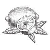 Gezeichneter Kalk oder Zitrone des Vektors Hand Ganze, geschnittene Stücke halb, Urlaubskizze Frucht gravierte Artillustration au stock abbildung