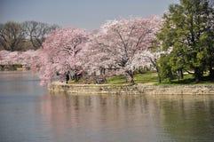 Gezeiten- Bassin-Weg-Pfad-und Kirschblüten Stockbilder