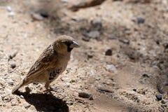 Gezellig Weaver Bird in Kgalagadi Royalty-vrije Stock Afbeelding
