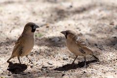 Gezellig Weaver Bird in Kgalagadi Stock Fotografie