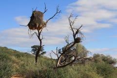 Gezellig Weaver Nest in Zuidelijk Botswana Stock Fotografie