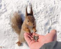 Gezellige eekhoorn Stock Afbeelding