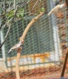 Gezelschapsvogels de gestreepte vink Royalty-vrije Stock Foto
