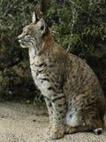 Gezet, Volledig Profiel van Bobcat met groene achtergrond stock foto's