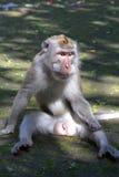 Gezette Macaque Stock Fotografie