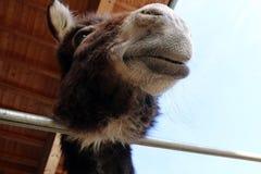 Gezicht en hoofd van een ezel Stock Foto