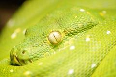gezicht en ogen van mooie groene slang stock foto