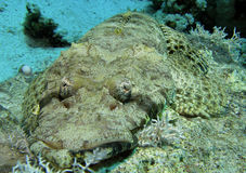 Gezicht od Crocodilefish Stock Afbeeldingen